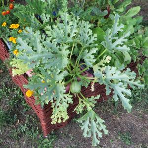 acheter courgette legumcub sur legum cub vente mat riel jardinage et accessoires. Black Bedroom Furniture Sets. Home Design Ideas
